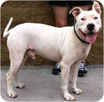 American Pit Bull Terrier/American Staffordshire Terrier Mix Dog for Sale in Gilbert, Arizona - Boy
