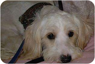 Terrier (Unknown Type, Small)/Poodle (Miniature) Mix Dog for adption in Lucerne Valley, California - 2 little white dogs