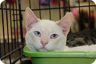 Siamese Kitten for Sale in santa monica, California - Elizabeth