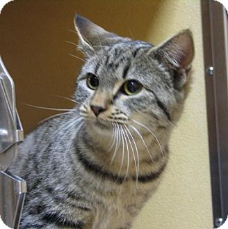 Domestic Shorthair Cat for adoption in Williamsburg, Virginia - Holly