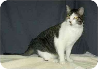 Domestic Shorthair Cat for adoption in Powell, Ohio - Izzy