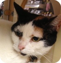 Calico Cat for Sale in Albany, New York - Ainsley