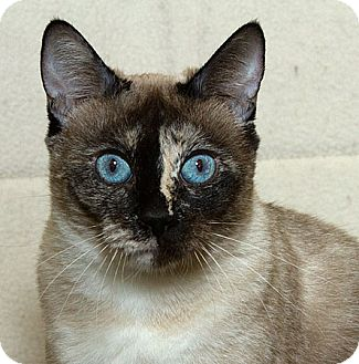 Siamese Cat for Sale in Sacramento, California - Clarice M