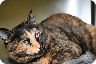 Domestic Shorthair Cat for adoption in Edmonton, Alberta - Margie