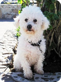 Poodle (Miniature) Dog for Sale in Irvine, California - Playful BRUCE