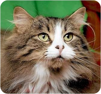 Domestic Mediumhair Cat for adoption in St. Charles, Missouri - Brandy