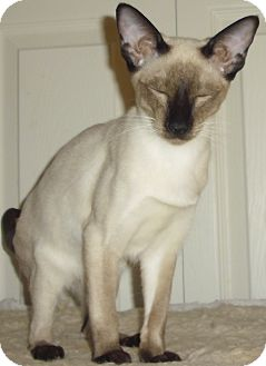 Siamese Cat for Sale in Fairborn, Ohio - Mikimoto-Wauseon Cattery
