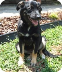 German Shepherd Dog/Rottweiler Mix Puppy for Sale in Pineville, North Carolina - Zu Zu
