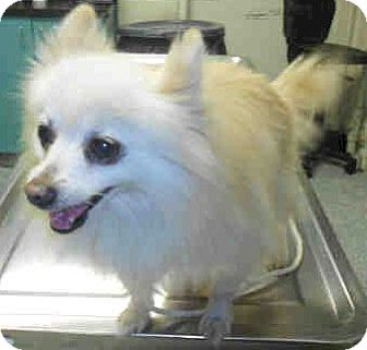 Pomeranian Mix Dog for adption in Long Beach, California - Mama