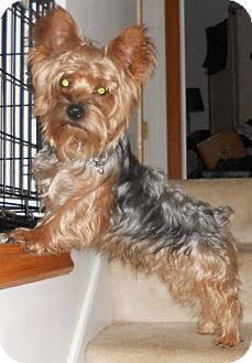 Yorkie, Yorkshire Terrier Dog for Sale in Bartlett, Illinois - Yogi