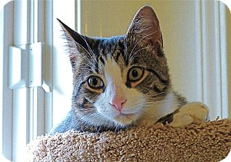 American Shorthair Cat for Sale in Victor, New York - Tucker