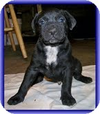 Labrador Retriever/American Bulldog Mix Puppy for Sale in Allentown, Pennsylvania - Geo
