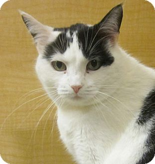 Domestic Shorthair Cat for adoption in McHenry, Illinois - Sarah