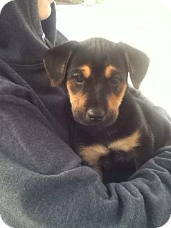 Labrador Retriever Mix Puppy for Sale in Torrance, California - KOBE