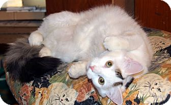 Domestic Mediumhair Cat for Sale in Alexandria, Virginia - Plisch