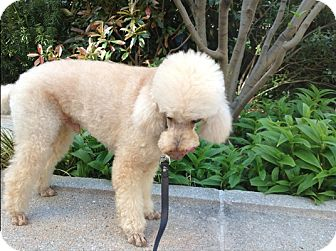 Poodle (Miniature) Dog for adption in New York, New York - Honey Boy
