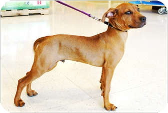 German Pinscher Mix Dog for adption in Garland, Texas - Dante