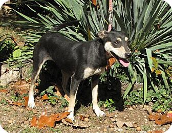 Manchester Terrier Mix Dog for Sale in Oakland, Arkansas - Athena