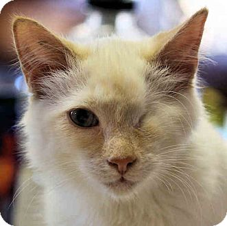 Turkish Angora Cat for Sale in Morganton, North Carolina - Cotton