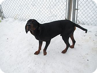 Hound (Unknown Type) Mix Dog for Sale in Hamilton, Montana - Noah