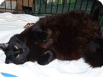 Domestic Longhair Cat for adoption in Stafford, Virginia - Blackie