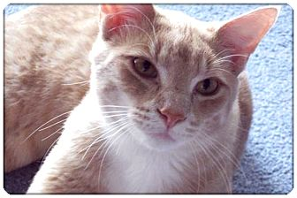 Domestic Shorthair Cat for Sale in Sterling Heights, Michigan - Rusty - ADOPTED!