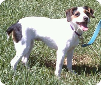 Jack Russell Terrier Mix Dog for adption in Lisbon, Ohio - Winter