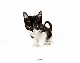 Domestic Shorthair Kitten for Sale in New York, New York - Pumpkin