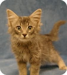 Domestic Mediumhair Kitten for Sale in Sacramento, California - Dusty