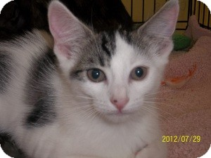 Domestic Shorthair Kitten for Sale in Riverside, Rhode Island - Morgan