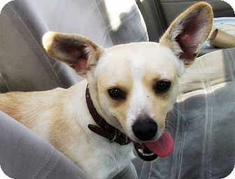 Corgi/Chihuahua Mix Dog for Sale in Irvine, California - BUGSY