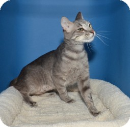 Domestic Mediumhair Cat for adoption in Rancho Palos Verdes, California - Purr'l