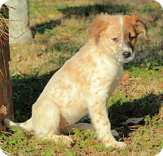 Australian Shepherd/English Setter Mix Puppy for Sale in Brattleboro, Vermont - Lizzy