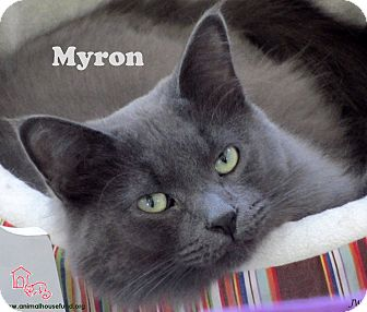 Domestic Mediumhair Cat for Sale in St Louis, Missouri - Myron