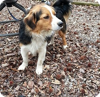 Looking for a Sheltie, Shetland Sheepdog/Border Collie dog in ...
