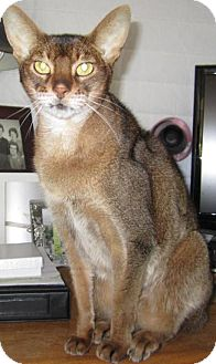 Abyssinian Cat for Sale in Vacaville, California - Sir Tut