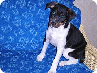Jack Russell Terrier/Rottweiler Mix Puppy for Sale in New Castle, Pennsylvania - Benny