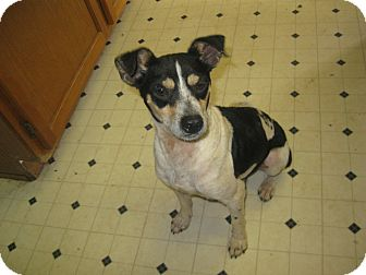 Rat Terrier Dog for Sale in Pelham, New York - Lyle