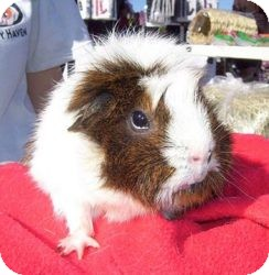 Guinea Pig for Sale in Costa Mesa, California - Penny