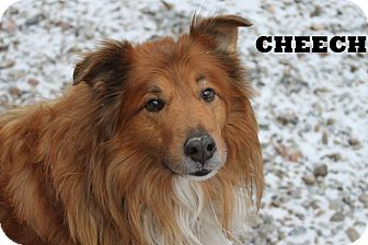 Chow Chow/Collie Mix Dog for adption in Shippenville, Pennsylvania - Cheech