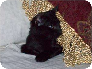 Domestic Shorthair Cat for Sale in Medford, New Jersey - Mimosa
