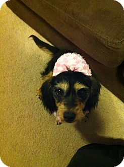 Dachshund Dog for Sale in Denver, Colorado - Sandy
