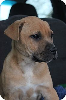 Boxer Mix Puppy for Sale in Christiana, Tennessee - Copper