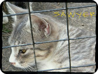 Domestic Shorthair Kitten for Sale in anywhere, New Hampshire - Sawyer