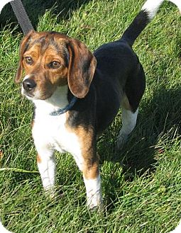 Beagle Mix Dog for Sale in Lisbon, Ohio - Regis