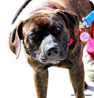 American Bulldog/Mastiff Mix Dog for adption in Boynton Beach, Florida ...