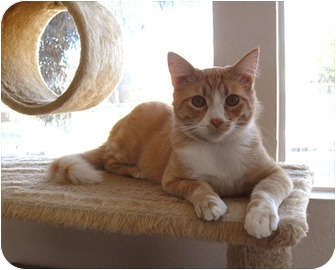 Domestic Mediumhair Cat for adoption in La Jolla, California - Bucky