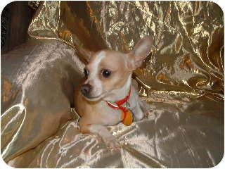 Chihuahua Dog for adption in Clear Lake, Washington - Charlie 2
