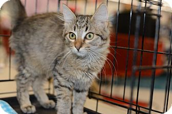 Maine Coon Kitten for Sale in Harrisburg, North Carolina - Margarite