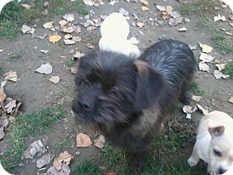 Lhasa Apso/Terrier (Unknown Type, Small) Mix Dog for Sale in Seattle, Washington - Elsie